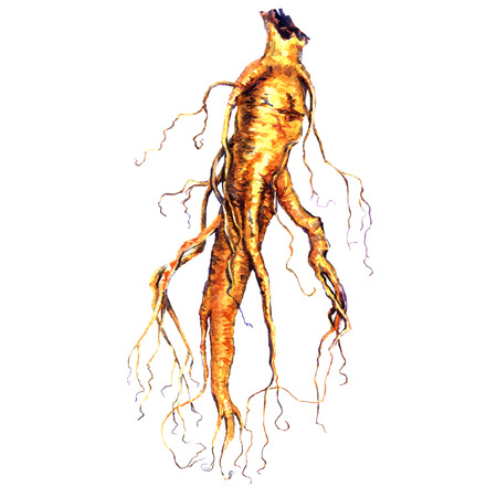 china watercolor paint: ginseng root isolated, watercolor painting on white background