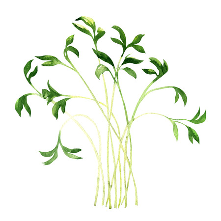 Garden cress isolated, watercolor painting on white background Stock Photo