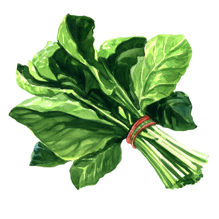 Bunch of fresh spinach leaves, watercolor painting on white background