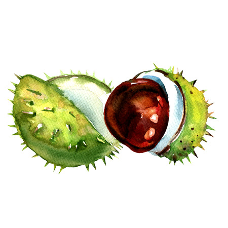 crust: chestnut with crust isolated, watercolor painting on white background Stock Photo