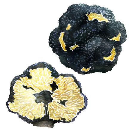 黒トリュフ、塊茎を接種、白い背景の水彩画 写真素材
