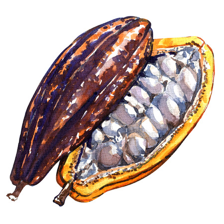 cacao: Open cocoa pod isolated, watercolor painting on white background