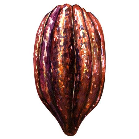 절연 코코아 콩깍지, 흰색 배경에 수채화 그림 스톡 콘텐츠
