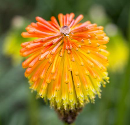 pokers: Kniphofia triangularis, Red Hot Poker, beautiful orange flower on green background