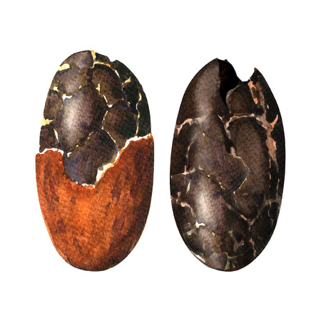 white beans: raw cocoa beans isolated, watercolor painting on white background