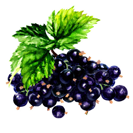 currants: Branch of black currants isolated, watercolor painting on white background