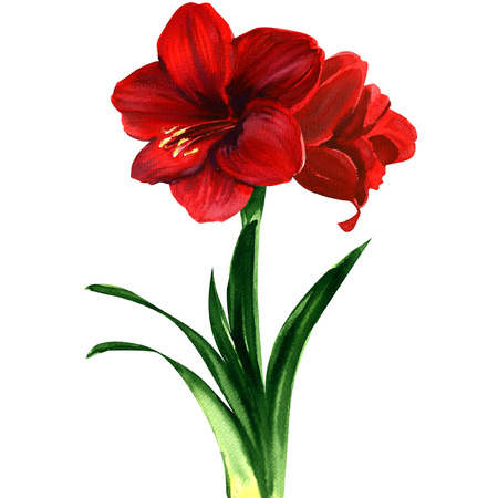 hippeastrum flower: red Amaryllis flower, hippeastrum. Watercolor painting on white background Stock Photo