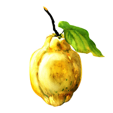 Quince fruit  with leaf isolated, watercolor painting on white background
