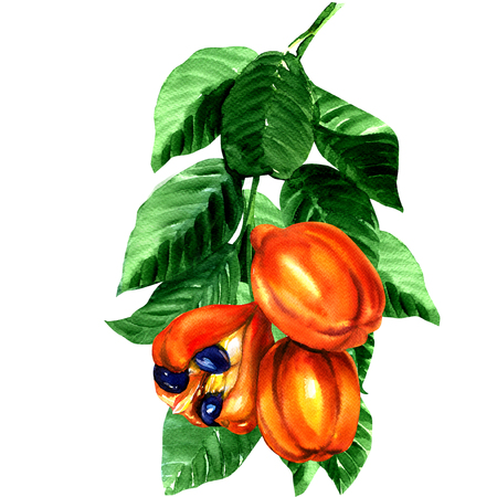 tropical blighia sapida fruit, Ackee tree, watercolor painting on white background Foto de archivo