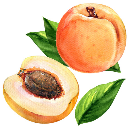 Fresh apricots with leaves isolated, watercolor painting on white background