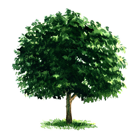 isolated tree: Beautiful fresh green deciduous tree isolated, watercolor painting on white background Stock Photo