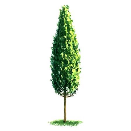 arbol alamo: fresca álamo aislado verde, pintura hermosa de la acuarela en el fondo blanco Foto de archivo