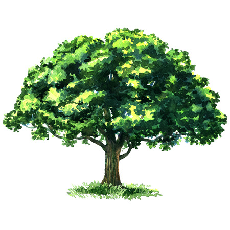 Beautiful fresh green deciduous tree isolated, watercolor painting on white background Imagens