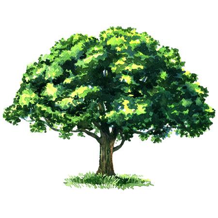 Prachtige verse geïsoleerde groene bladverliezende boom, waterverf het schilderen op een witte achtergrond Stockfoto