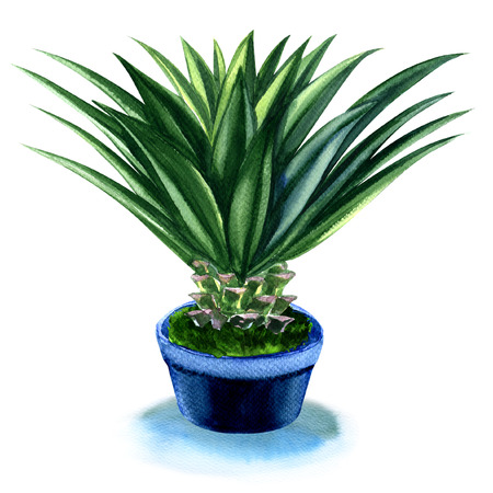 agave: Agave plant in pot isolated, watercolor painting on white background Stock Photo