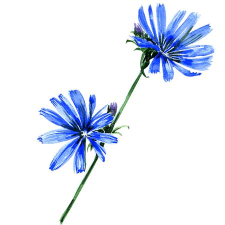 Blauwe cichorei bloemen geïsoleerd, waterverf het schilderen op een witte achtergrond