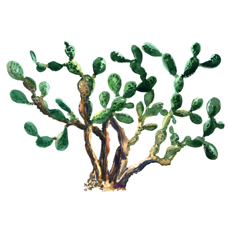 prickly: Cactus plant isolated. Opuntia ficus indica, watercolor painting on white background