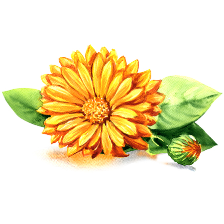 calendula: Calendula. Marigold flowers with leaves isolated, watercolor painting on white background Stock Photo