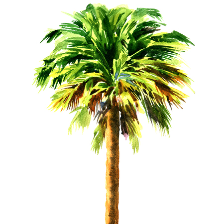 Green beautiful palm tree isolated, watercolor painting on white background