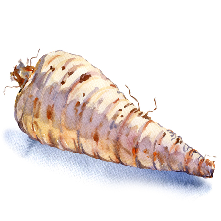 cone shaped: Raw whole parsnip, isolated, watercolor painting on white background