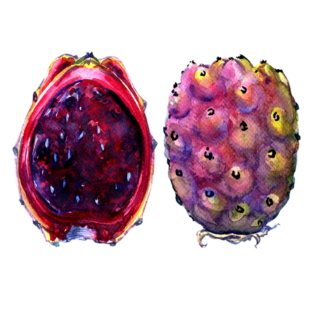 prickly: Fruits of Opuntia ficus-indica, red cactus pears, watercolor painting on white background