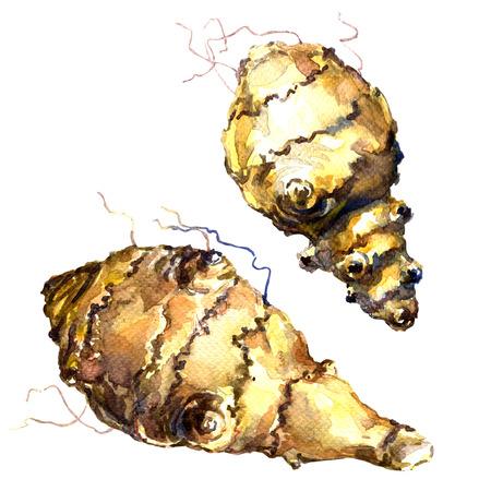 artichoke: Topinambour, Jerusalem artichoke, sunroot tubers, watercolor painting on white background