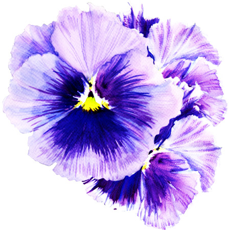 beautiful pansy flowers isolated, watercolor painting on white background