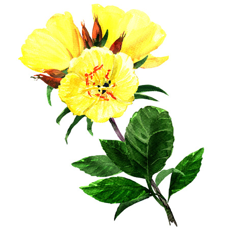 oenothera biennis: Yellow evening primroses isolated, watercolor painting on white background