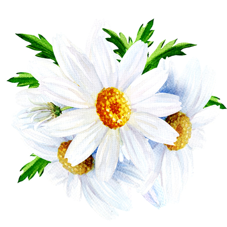 camomile tea: Chamomile flower with leaves isolated, watercolor illustration on white background