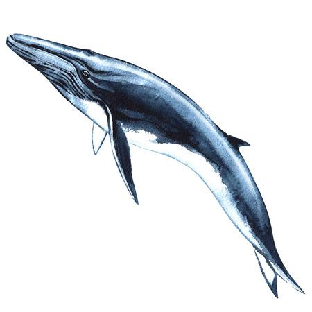 Baleine bleue isolé, aquarelle illustration sur fond blanc