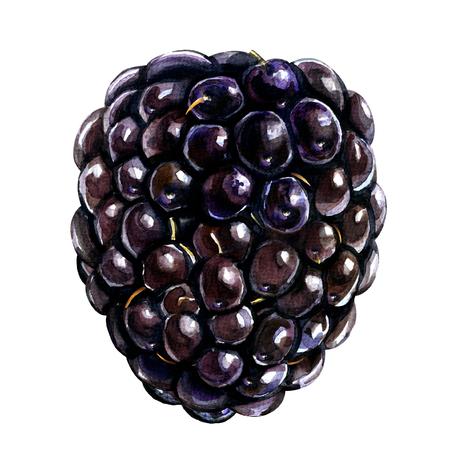 dewberry: Single fresh blackberry isolated, watercolor illustration on white background