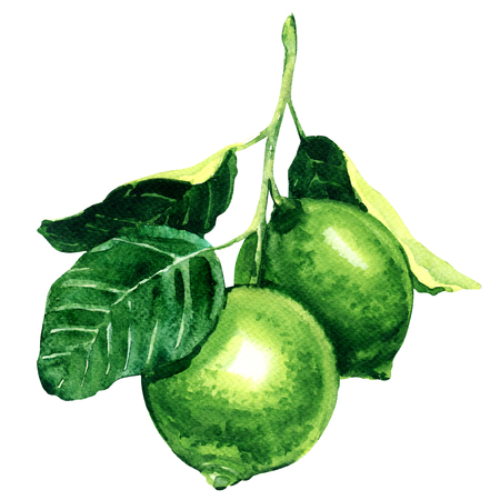 citron: Fresh limes on branch isolated, watercolor illustration on white background