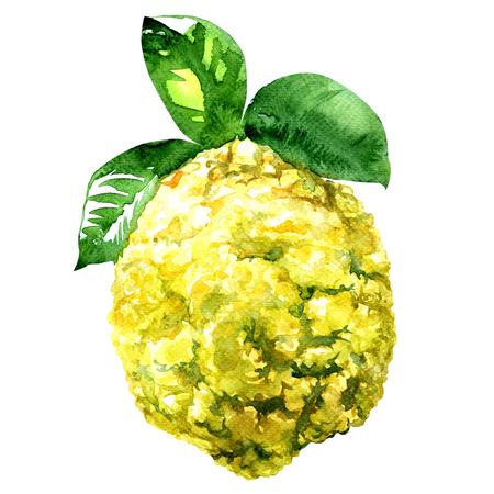 medica: Citron, Citrus medica isolated, watercolor illustration on white background