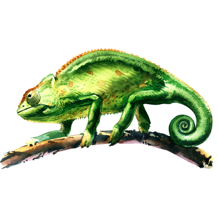 chamaeleo: green chameleon, chamaeleo calyptratus, on a tree, isolated, watercolor illustration on white background