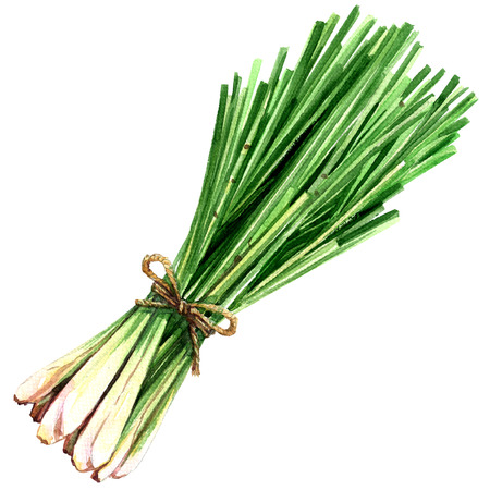bundle of fresh lemon grass isolated, watercolor illustration on white background