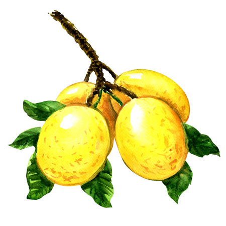 Branch of marula fruit with leaves isolated, watercolor illustration on white background Foto de archivo