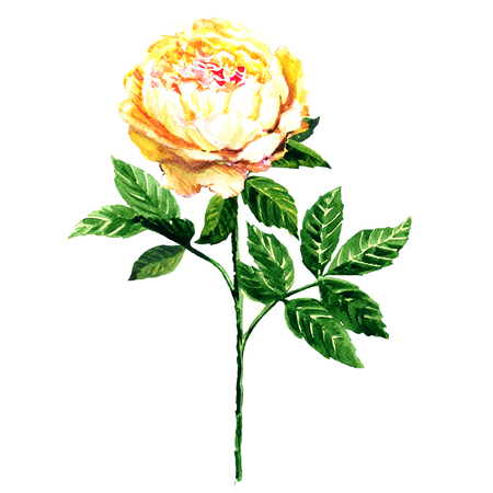 flower  hand: Yellow tender flower with leaves isolated, watercolor illustration on white background Stock Photo