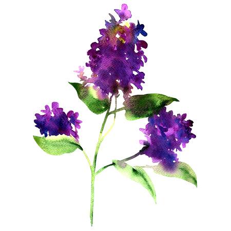 Ramita morado lila, flor de primavera, Syringa vulgaris, aislado, ejemplo de la acuarela en el fondo blanco Foto de archivo