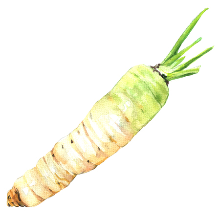 fresh daikon radish isolated, watercolor illustration on white background