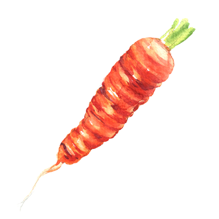 carrot isolated: fresh carrot isolated, watercolor illustration on white background