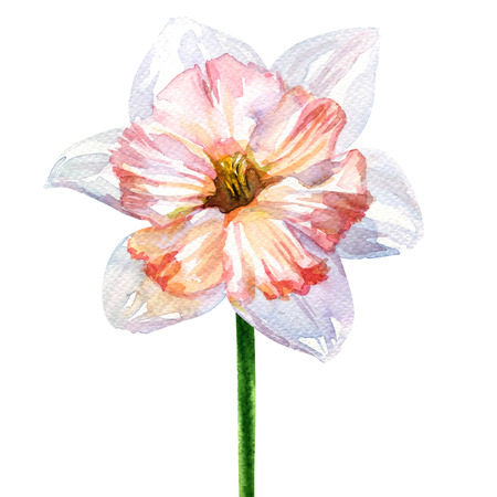 Daffodil spring flower or narcissus head isolated, watercolor illustration on white background