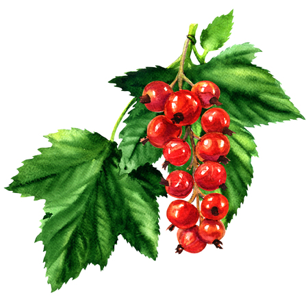 Red ripe currant with green leaves isolated, watercolor illustration on white background Foto de archivo