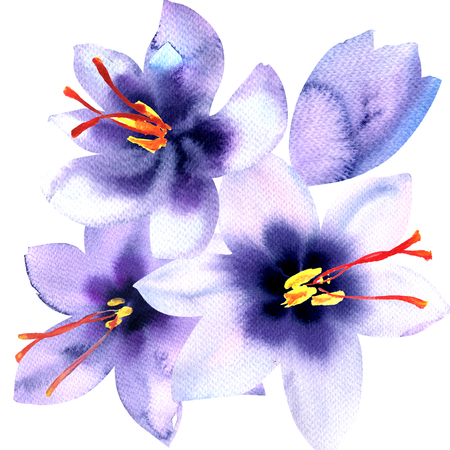 saffron: saffron violet crocus flowers isolated, watercolor illustration on white background