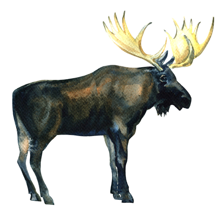 eurasian: Wild Bull Moose or Eurasian Elk or Alces alces isolated, watercolor illustration on white background Stock Photo