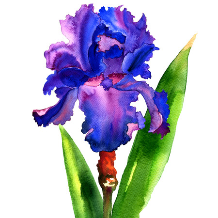 single flower: violet iris flower isolated, watercolor illustration on white background Stock Photo