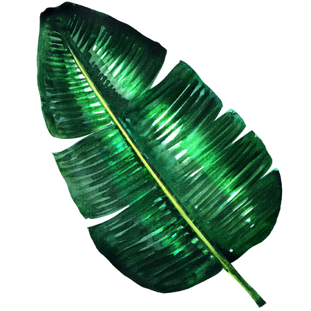Fresh green banana leaf isolated, watercolor illustration on white background