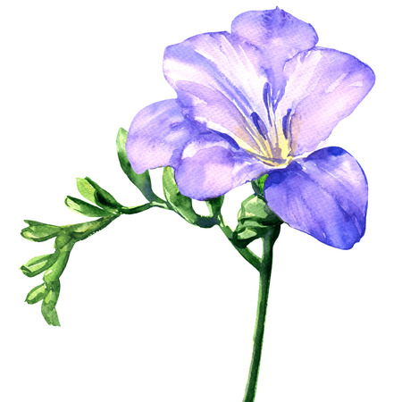 Delicate purple or lilac freesia flower blossom, isolated on white, watercolor illustration on white background
