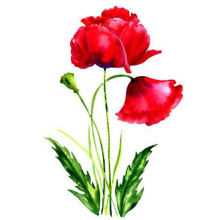 opium poppy: red poppies isolated, watercolor illustration on white background Stock Photo