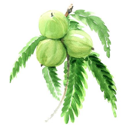 インドのスグリ、ユカン、アムラ、白い背景の上の緑の果物分離、水彩イラスト