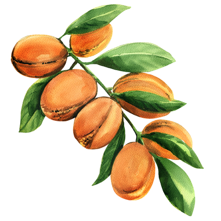 Fresh argan tree branch with fruits isolated, watercolor illustration on white background
